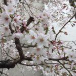 駒沢小学校の桜